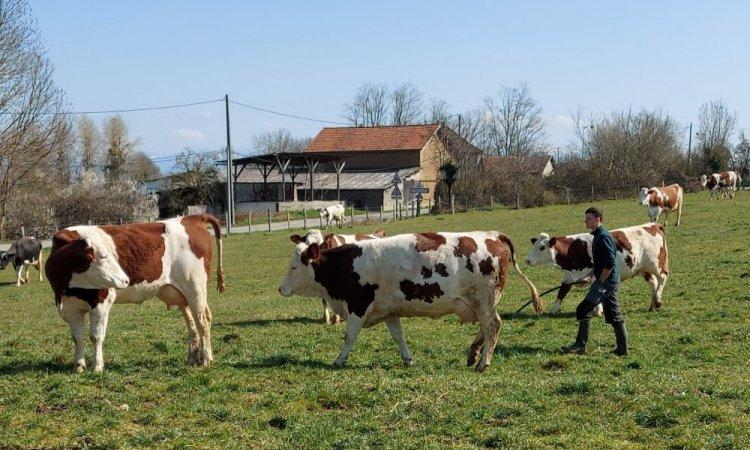 Alexis rentre nos vaches, La ferme de Reculefort La Tour-du-Pin - Vente de produits issus de la ferme directement